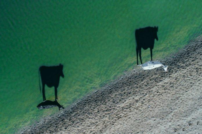 Закят со скота: коровы на берегу