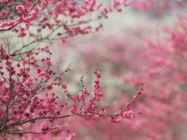 Вишня расцветает еще больше радуя в праздник Курбан айт
